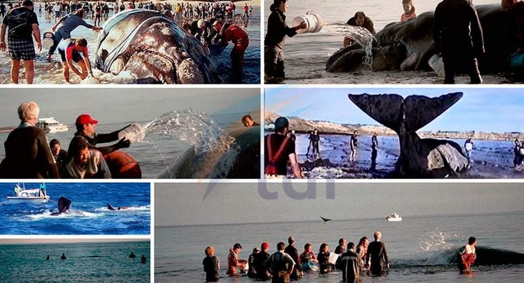 El emotivo rescate que hace hoy al día de la ballena Franca Austral